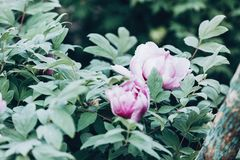 Pink flower peonies on bush. Blossom pink flowers peonies. Spring, nature royalty free stock images