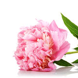 Pink flower of a peony. Stock Images