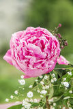 Pink flower, peony. Blossoming, small white flowers, green twigs into the green background blurred Royalty Free Stock Images