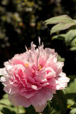 Pink flower on a peony tree called Paeonia suffruticosa Stock Photos