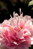 Pink flower on a peony tree called Paeonia suffruticosa. In a botanical garden in spring Royalty Free Stock Image