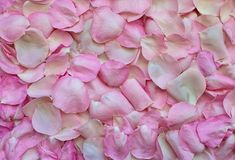 Pink, Flower, Petal, Rose Family Stock Images