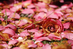 Pink flower and petals. On forest floor stock photography