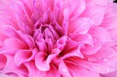 Pink flower petals. Close-up of pink flower petals Stock Image