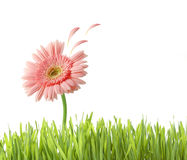 Pink flower with petals flying Stock Images
