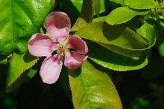 Pink flower petals and lanceolate leaves of Chinese Quince Pseudocydonia Chinensis in afternoon sun Royalty Free Stock Photography