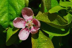 Pink flower petals and lanceolate leaves of Chinese Quince Pseudocydonia Chinensis in afternoon sun with drops of water on leaves Royalty Free Stock Images