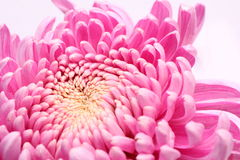 Pink flower petals Royalty Free Stock Image