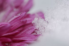 Pink flower petals and snow. Holiday seasonal background Stock Photos