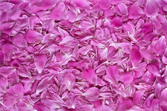 Pink flower petals texture background Stock Photography