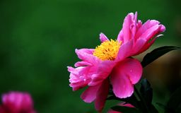 Pink flower. Pink petals yellow flower collocation Stock Photo