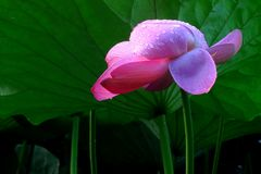 Pink flower. Pink petals yellow flower collocation Royalty Free Stock Photos
