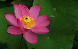 Pink flower. Pink petals yellow flower collocation Royalty Free Stock Photo