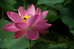 Pink flower. Pink petals yellow flower collocation Stock Images