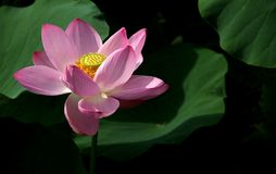 Pink flower. Pink petals yellow flower collocation Royalty Free Stock Image