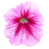 Pink flower of petunia Stock Photo