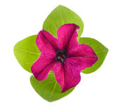 Pink flower of petunia with green leaves isolated on white background Royalty Free Stock Photos