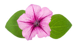 Pink flower of petunia with green leaves isolated on white background Stock Image