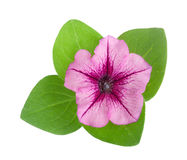 Pink flower of petunia with green leaves isolated on white background Royalty Free Stock Photo