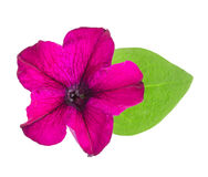 Pink flower of petunia with green leaves isolated on white background Stock Photos