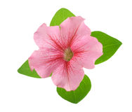 Pink flower of petunia with green leaves isolated on white background Stock Images