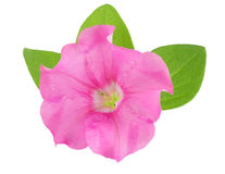 Pink flower of petunia with green leaves isolated on white background Stock Photography