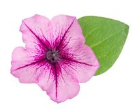 Pink flower of petunia with green leaves isolated on white background.  Stock Images