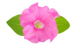 Pink flower of petunia with green leaves isolated on white background.  Stock Photography