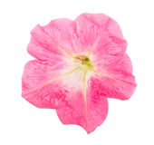 Pink flower of petunia isolated on white background Royalty Free Stock Photo