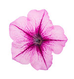 Pink flower of petunia isolated on white background Stock Photos