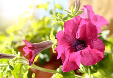Pink flower Petunia Surfinia Vein Royalty Free Stock Images