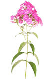 Pink flower phlox (Clipping path) Stock Images