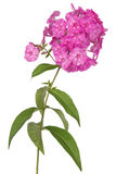 Pink flower phlox (Clipping path) Royalty Free Stock Images