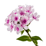Pink flower phlox, isolated on white background Stock Photography