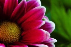 Pink Flower Photo Stock Images