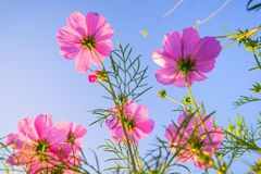 Pink Flower Photos Royalty Free Stock Photo