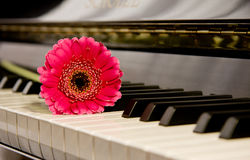 Pink flower on piano. Gerbera flower on a shiny black piano Stock Photo