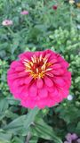 Pink flower. Picture of pink yellow flower royalty free stock photos