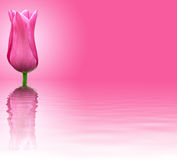 Pink flower on pink background Royalty Free Stock Images