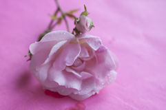 Pink flower on pink background. Pink flower lying on pink background with water drops Royalty Free Stock Image