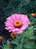 Pink Flower. Garden nature colorful beauty spring springtime summer stock photography