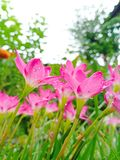 Pink flower. In nature royalty free stock photography