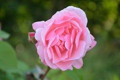 Pink, Flower, Pink Flowers, Garden Stock Photos