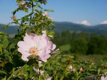 Pink Flower. Pink wild rose or dog-rose flowers with leafs on mountains background. Dog Rose Close-up: Pink Flower. Pink wild rose or dog-rose flowers with stock image