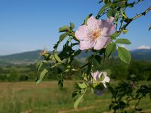 Pink Flower. Pink wild rose or dog-rose flowers with leafs on mountains background. Dog Rose Close-up: Pink Flower. Pink wild rose or dog-rose flowers with stock photo