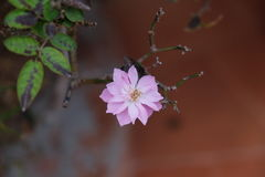 Pink Flower. After the plant sheds its leaves, a beautiful pink flower blooms royalty free stock photos
