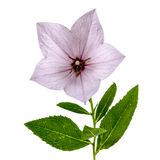 Pink flower of Platycodon (Platycodon grandiflorus) or bellflowe Royalty Free Stock Photography