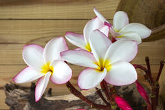 Pink flower plumeria bunch with old baked clay vase and timber w Stock Photos