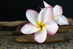 Pink flower plumeria or frangipani on water and pebble rock Royalty Free Stock Photo