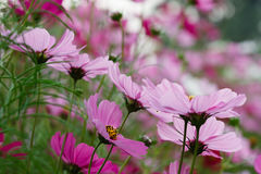 Pink flower pollen Royalty Free Stock Photo